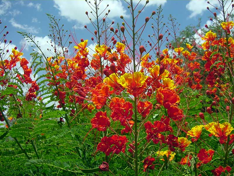 pride-of-barbados-in-texas