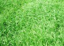 buffalo grass houston tx