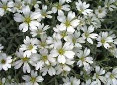 cerastium tomentosum houston tx